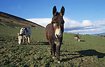 Blackpool beach donkeys overwintering on Lancashire farm, Lancashire, UK