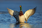 Mallard drake flapping it's wings.