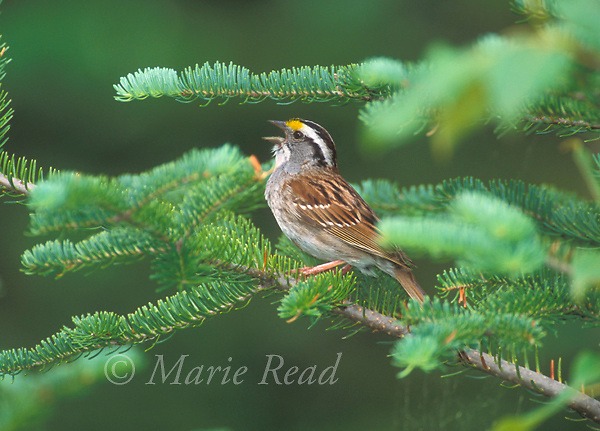 White-throated Sparrow (Zonotrichia albicollis) singing from a conifer branch in spring, Michigan, USA<br /> Slide # B164-210