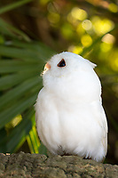 """While Eastern Screech Owls appear in various color forms including brown, Gray and red, white owls are likely leucistic.  """"Leucism"""" is a condition in which there is a partial loss of pigmentation in an animal resulting in white, pale or patchy coloration of the feathers, hair, scales etc, but not of the eyes. An albino has no pigmentation and will appear completely white except for their eyes, legs, feet and bill which may appear pink. (captive)"""