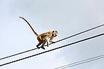 Toque macaque (Macaca sinica) monkey, Haputale, Badulla District, Uva Province, Sri Lanka, Asia