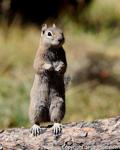 Squirrel, Rocky Mountain National Park, Colorado