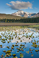 Fresh snow on the Kenai Mountains, lilies in Bear lake, Chugach National Forest, Kenai Peninsula, southcentral, Alaska.