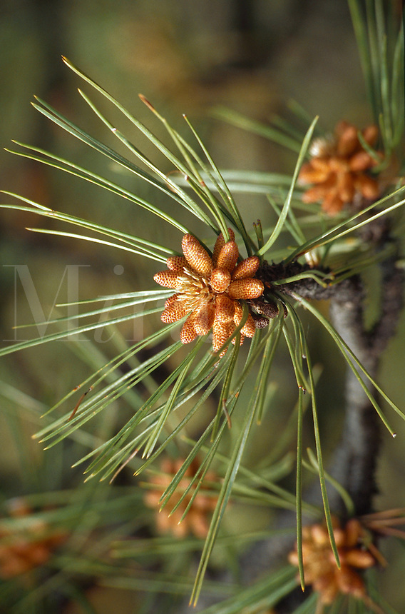 Detail of pine tree in Custer State Park in South Dakota