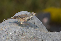 American Pipits walk rather than hop, and often bob their tails upward when they pause.