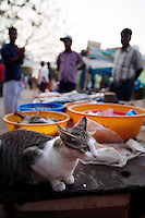 20080205_Fort Kochin, India_ A cat sits patiently in a fish market in Fort Kochin, which is located in the Southern Indian state of Kerala.  Fort Kochin has been an important spice trading port for centuries.  Photographer: Daniel J. Groshong/Tayo Photo Group