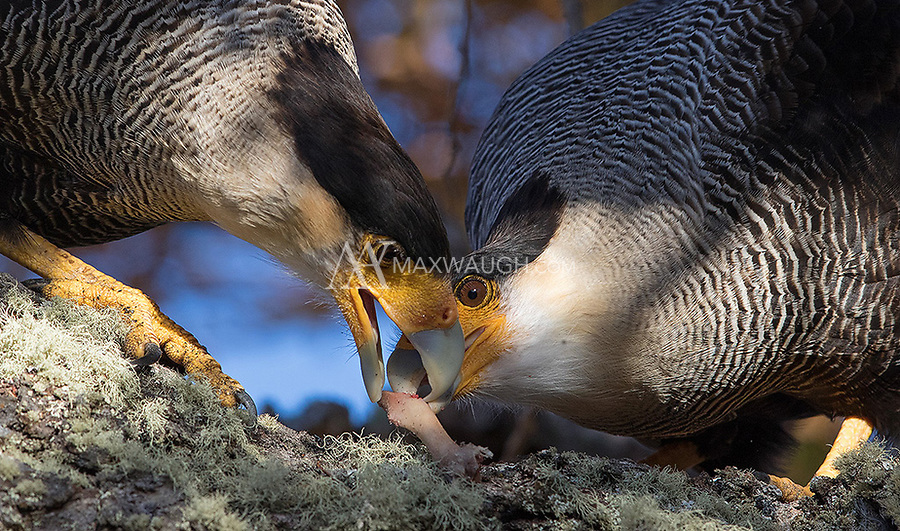 A pair of caracaras fights over a bone.