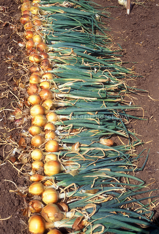 Yellow spanish onions plant flower stock photography spanish yellow onions harvested from garden gold yellow onions with leaf tops and roots mightylinksfo