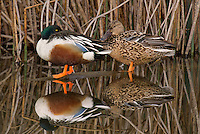 578380007 a wild male or drake and a female northern shoveler anas clypeata in a pond at colusa national wildlife refuge califonia
