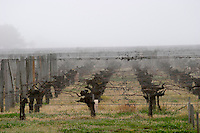 guyot double training vineyard fog ch gd barrail lamarzelle figeac saint emilion bordeaux france