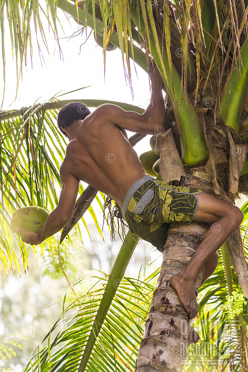 A young local man climbs a coconut palm tree and harvests coconuts on Kaua'i.