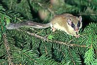 Bosslaapmuis (Dryomus nitedula)