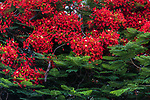 A Royal Poinciana, Flame Tree or Flamboyant Tree, Delonix regia, in bloom in Tiberius, a resort town on the shore of the Sea of Galilee in Israel.