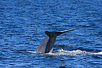 blue whale diving