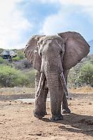 African elephant making a mock charge  across dry savanna, Kenya, Africa (photo by Wildlife Photographer Matt Considine)