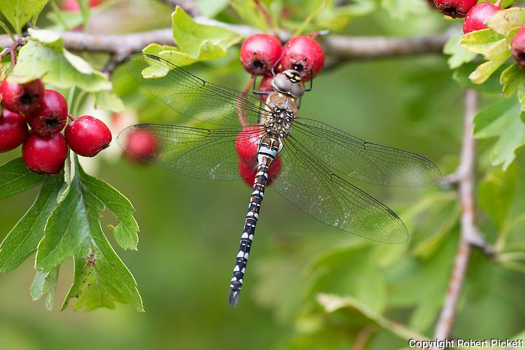 Migrant Hawker, Aeshna mixta, Monkton Nature Reserve, Kent UK, male, resting on hawthorn berries