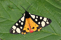 Cream-spotted Tiger - Arctia villica