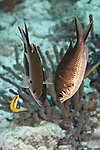 Chromis multilineata, Brown chromis, Bonaire