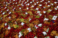 UNITED KINGDOM, London : Poppy wreaths lay covered in autumn leaves at the Cenotaph in London on November 21, 2015