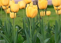Stock image of yellow Tulip flowers row in a garden.