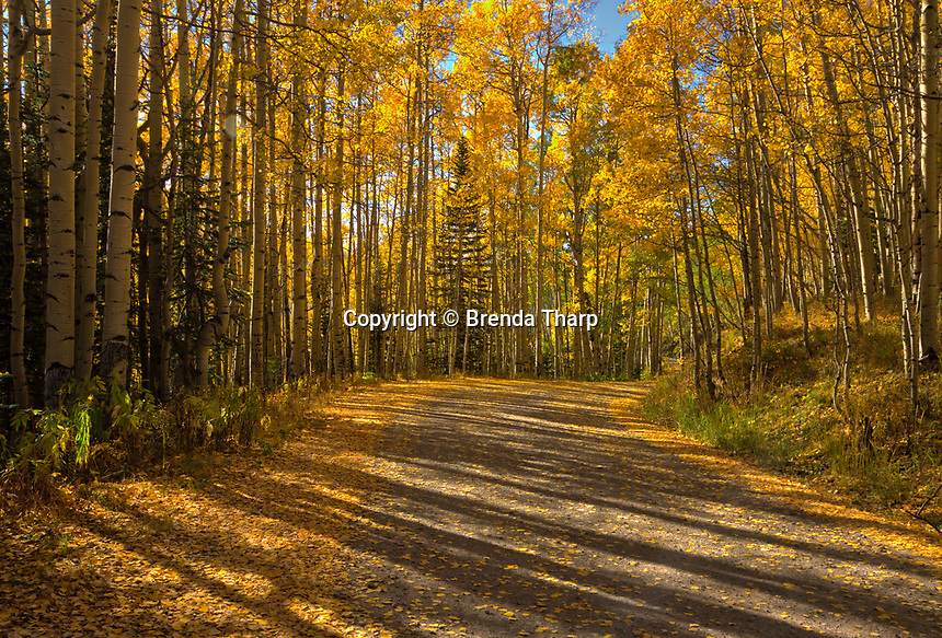 Late afternoon light creates long shadows along a country road through an aspen grove.