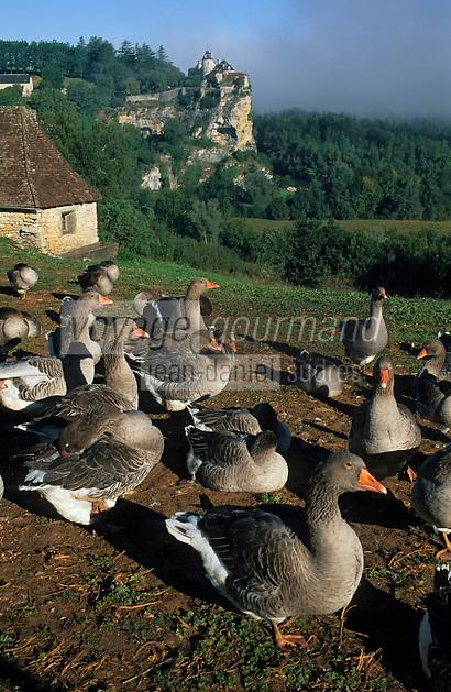 Europe/France/Midi-Pyrénées/46/Lot/Vallée de la Dordogne/Env du chateau de Belcastel: Troupeau d'oies de la ferme du Berthou