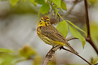 Palm Warbler (Setophaga palmarum).  Great Lakes Region.  May.