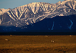 The Brooks Range bright with sunshine provide a majestic backdrop for caribou grazing in the arctic plains.