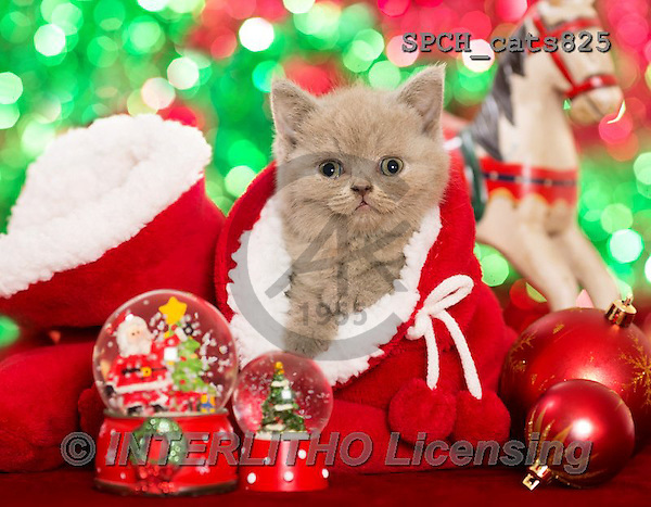 Xavier, CHRISTMAS ANIMALS, WEIHNACHTEN TIERE, NAVIDAD ANIMALES, photos+++++,SPCHCATS825,#XA# ,cats