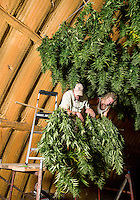 From left, Penn Mattison (cq) and Zachary Sobol (cq) hang rows of industrial grade hemp to dry after harvest of Charlotte's Web near Wray, Colorado, Monday, September 22, 2014. The Stanley Brothers have developed a popular strain of marijuana that has been found to be helpful in reducing seizures. The marijuana high in CBDs and low in THC, the chemical which gets a person stoned.<br /> <br /> Photo by Matt Nager