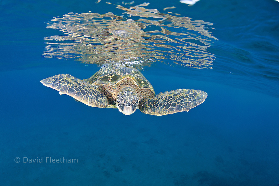 A green sea turtle, Chelonia mydas, rests at the surface in between breaths, an endangered species.  Hawaii.