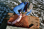 Bob Ritchie recovers a wild Atlantic salmon harvested from one of his 'jumper' nets at Kinnaber, Angus. The once-thriving Scottish salmon netting industry fell into decline in the 1970s and 1980s when the numbers of fish caught reduced due to environmental and economic reasons. By 2007, only a handful of men still caught wild salmon and sea trout using traditional methods, mainly for export to the Continent.