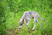 Gray wolf (Canis lupus), adult, walking on meadow, Pine County, Minnesota, USA, North America