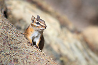 Least Chipmunk (Neotamias minimus) foraging for food in Rocky Mountain National Park, Colorado.