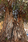 Israel, Sharon region. Eucalyptus tree on 31, Tarna St. Hadera