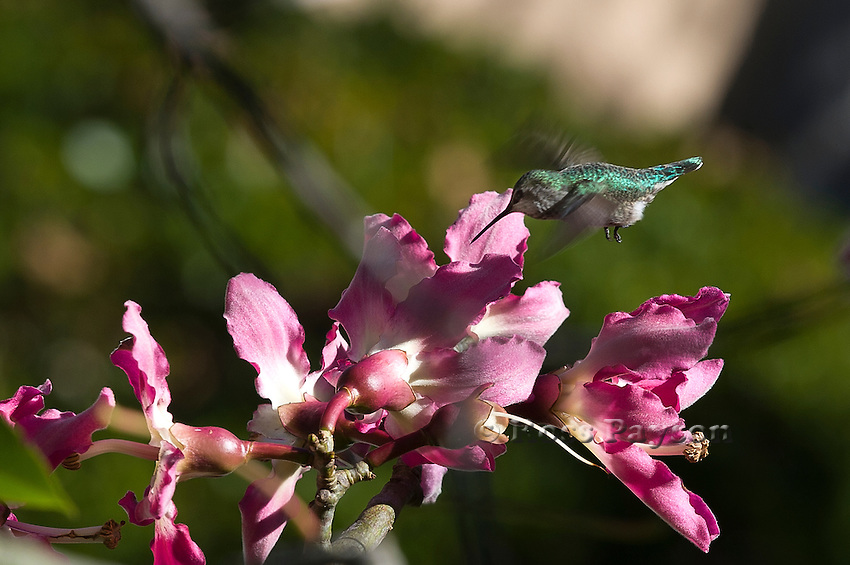 Hummingbird feeds on a Floss Silk Tree, Chorisia speciosa, 'Palo barracho rosada' ('rosy drunken stick')