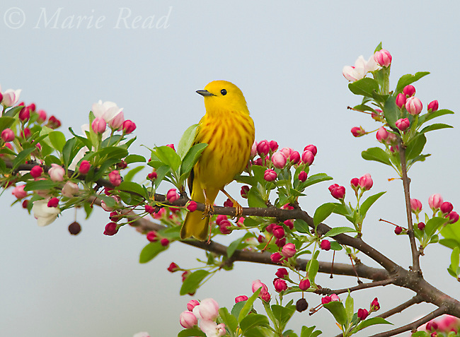 Yellow Warbler (Setophaga petechia) (formerly Dendroica petechia) male perched amid crabapple (Malus sp.) flowers in spring, New York, USA