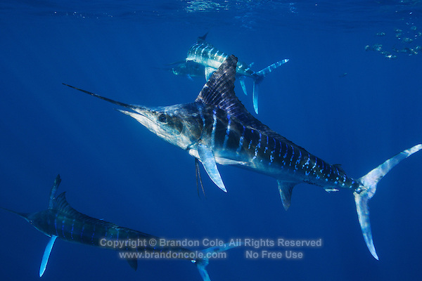 qf2194-D. Striped Marlin (Tetrapturus audax). Baja, Mexico, Pacific Ocean..Photo Copyright © Brandon Cole. All rights reserved worldwide.  www.brandoncole.com..This photo is NOT free. It is NOT in the public domain. This photo is a Copyrighted Work, registered with the US Copyright Office. .Rights to reproduction of photograph granted only upon payment in full of agreed upon licensing fee. Any use of this photo prior to such payment is an infringement of copyright and punishable by fines up to  $150,000 USD...Brandon Cole.MARINE PHOTOGRAPHY.http://www.brandoncole.com.email: brandoncole@msn.com.4917 N. Boeing Rd..Spokane Valley, WA  99206  USA.tel: 509-535-3489