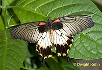 LE45-525z Great Mormon Swallowtail Butterfly, Papilio memnon, Southeast Asia