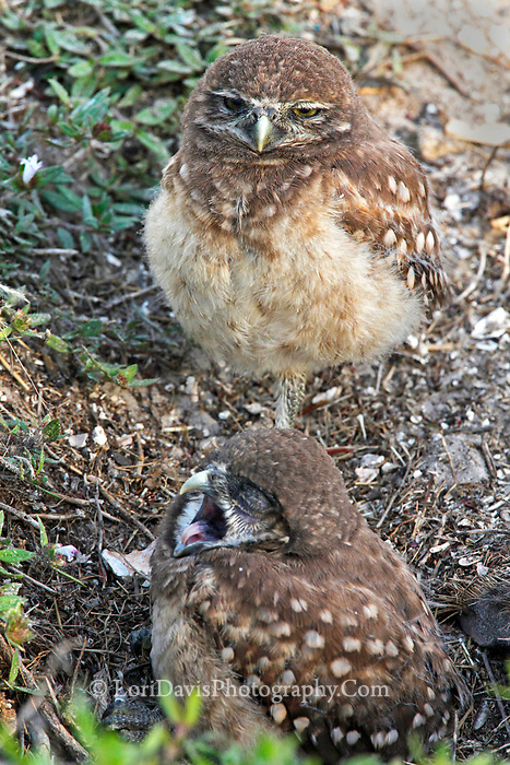 Burrowing owl chicks, yawning