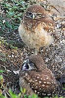 Burrowing owl chicks, yawning