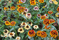 Zinnia haageana 'Aztec Sunset' mix