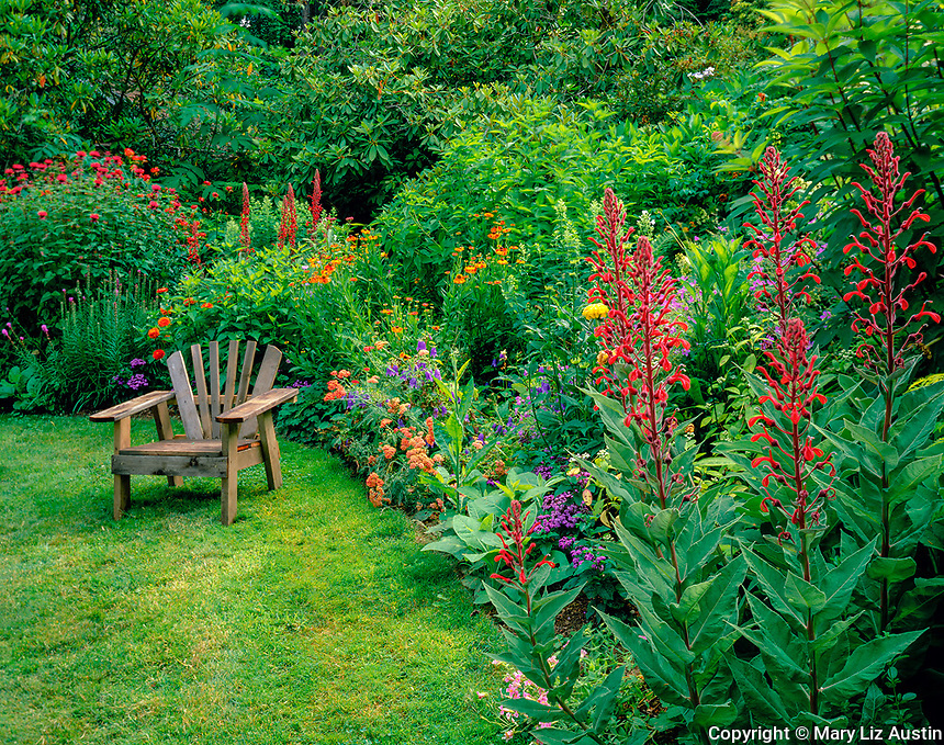Vashon Island, WA           <br /> Red flowering spikes of  Lobelia tupa at the edge of a colorful summer perennial garden with a Adirondack chair