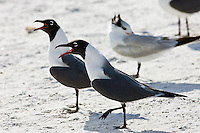 Laughing gulls, Larus atricilla, on the shoreline at Anna Maria Island, Florida