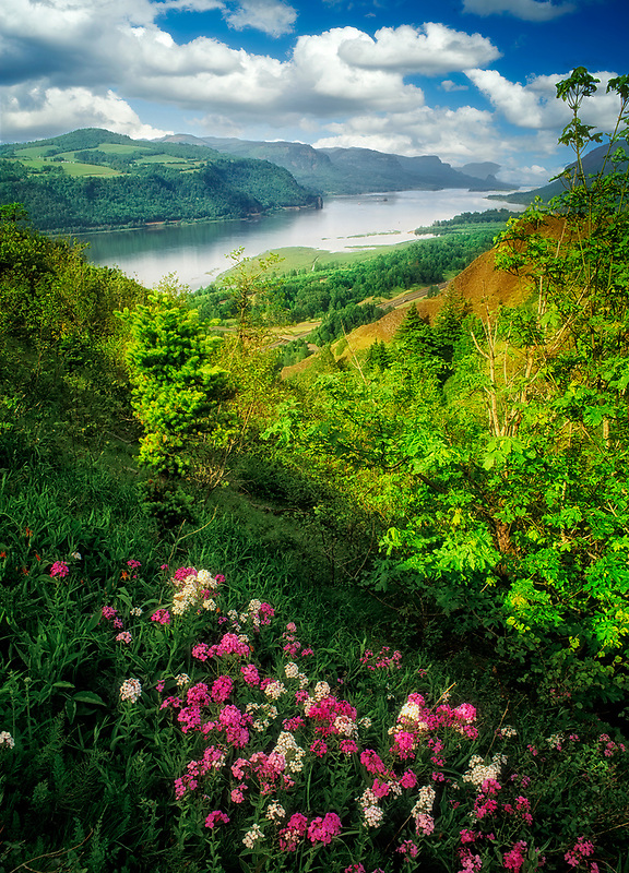 Wildflowers. Columbia River Gorge National Scenic Area,. Oregon.