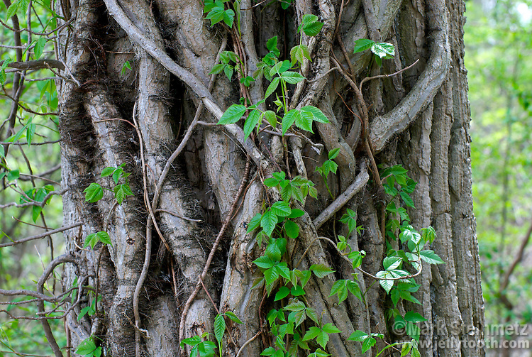 "Close-up section of an Eastern Cottonwood tree trunk covered in Poison Ivy (Toxicodendron radicans) vines. The typical trifoliate poison ivy leaves are leafing out along the length of the vines. Also characteristic along the vines are ""hairs"" which are aerial rootlets. Mid-May, Ottawa County, Ohio, USA."