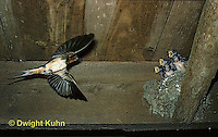BA04-001z  Barn Swallow - adult flying to nest of young birds - Hirundo rustica