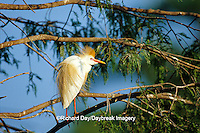 00686-00618  Cattle Egret (Bubulcus ibis) in bald cypress tree Yazoo National Wildlife Refuge  MS