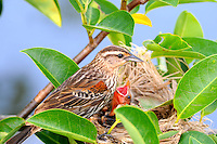 Red-Wnged Blackbird and Chick in nest. Photographed in Wakodahatchee Wetlands,Delray Beach, Florida