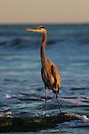 Great blue heron at Hendry's Beach